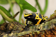Bumble bee poison dart frog hunting Stock Photo