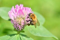 Bumble-bee polinates στο λουλούδι Στοκ φωτογραφίες με δικαίωμα ελεύθερης χρήσης