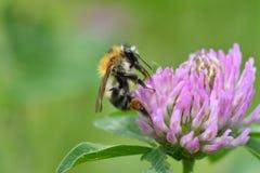 Bumble-bee polinates στο λουλούδι Στοκ Εικόνες