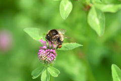 Bumble-bee polinates στο λουλούδι στοκ φωτογραφίες