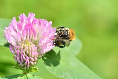 The bumble-bee polinates on the flower Stock Photos