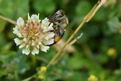 The bumble-bee polinates on the flower Royalty Free Stock Image