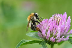 The bumble-bee polinates on the flower Stock Images