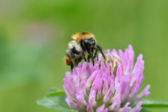 The bumble-bee polinates on the flower Royalty Free Stock Photo