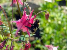 Bumble bee polinating pink aquilegia flower in the meadow. Bumble bee polinating pink columbine aquilegia alpina flower close up, beautiful garden plant with Stock Photos