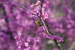 Bumble Bee Pollinates Pink Blossoms On Tree Stock Images