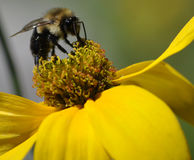 Bumble bee pollinating. Macro photo picture of bee on yellow flower stock image