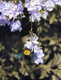 Bumble bee is pollinating stock photography