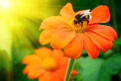 Bumble bee pollinating a flower Royalty Free Stock Photos