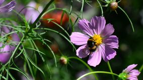 Bumble bee pollinating a flower Cosmos. A bumble bee pollinating a flower Cosmos stock video footage