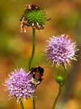 The bumble-bee Stock Photography