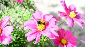 Bumble bee stock video footage