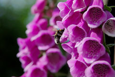 Bumble bee pollinating foxglove blooms Royalty Free Stock Images