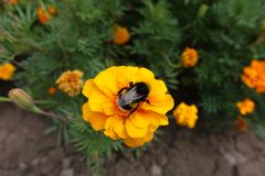 Bumblebee pollinating orange flower of French marigold. Bumble bee pollinating orange flower of French marigold stock images