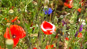 Free Bumble Bee Pollinating Red Poppies Stock Images - 72710714