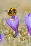 Bumble bee. Pollinating a spring crocus Royalty Free Stock Photo