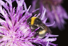 Bumble bee pollinating on thistle. Royalty Free Stock Photos