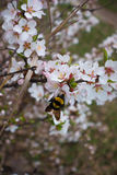 Bumble bee pollinating white flower of Manchu cherry. In spring Royalty Free Stock Photos