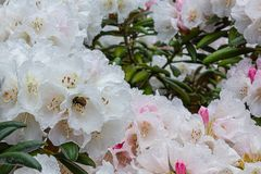 Bumble bee pollinating in a white and pink flower. Bumble bee pollinating in a white and pink rhododendron flower stock photography