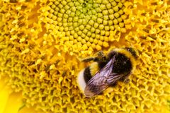Bumble bee pollinator collecting pollen on the disc surface of a yellow fresh sunflower. During Spring and Summer close up macro photo Royalty Free Stock Photography