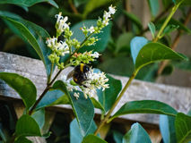 Bumble Bee on Privet Hedging. A photo showing a bumble bee collecting nectar from some privet hedging Stock Photos