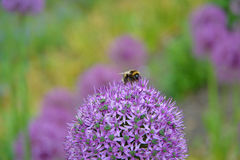 Bumble bee on a purple Allium bulb flower. A busy bumble bee collecting pollen from a purple Allium bulb flower Stock Images