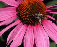 Bumble Bee On Purple Cone Flower Or Echinacea Purpuria. Bumble bee on Echinacea purpurea or purple cone flower in bloom in late summer Royalty Free Stock Photos