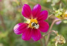Bumble bee on purple flowe. R in Tasmania, Australia Stock Image