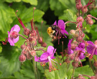 Bumble bee on purple geranium Stock Images
