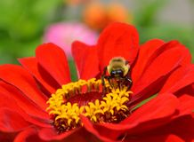 Bumblebee on a red zinnia Stock Photography