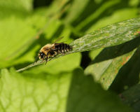 Bumble Bee Resting. Cool Morning Bumble Bee Resting In The  Sun Stock Photos