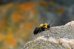 Bumble Bee Resting and Enjoying the Warmth of a Rock in the Sun Royalty Free Stock Photo