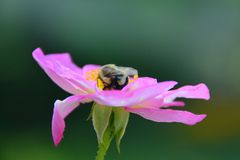 Bumblebee soft pink rose bokeh background Stock Images