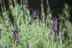 Bumble bee sampling Spanish lavender - horizontal Royalty Free Stock Image