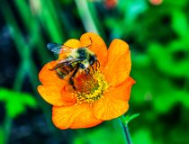 Bumble Bee Orange Iceland Poppy. Bumble Bee Searching Pollen Nectar Orange Iceland Poppy Royalty Free Stock Images