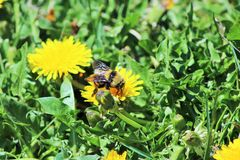 Bumble bee. Sipping on some nectar stock images