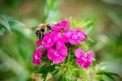 Bumble-bee Stock Photos