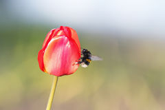 Bumble bee sitting on a bright red Bud of Tulip Stock Photos