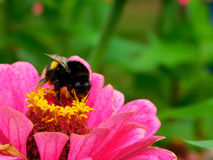 A bumble-bee sitting on a colourful flower. A bumble-bee picking up a nectar on a colourful flower on a sunny day royalty free stock images