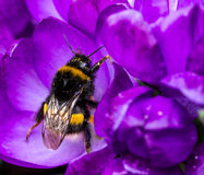 Bumble-bee sitting on the first wild crocus. Royalty Free Stock Photo