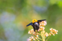 Bumble bee sitting on wild flower Stock Photography
