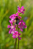 Bumble-bee sitting on wild flower. In nature Stock Image