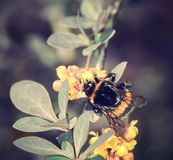 Bumble-bee sitting on wild flower Stock Images
