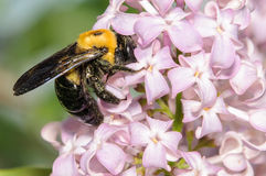 Bumble Bee. Small Bumble Bee on a Purple Lilac Bush Stock Images