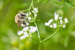 Bumble bee species feeding / pollinating on a white wildflower in Minnesota stock photos