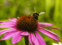 Bumble Bee on a Summer Flower Royalty Free Stock Photos