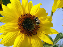 Bumble-bee on a sunflower. Large plan of bumble-bee on a yellow sunflower Royalty Free Stock Images