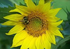 Bumble Bee on Sunflower. Large Bumble Bee on Beautiful Sunflower in Summer Stock Photo