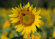 Bumble Bee on Sunflower Blossom. Bumble bee pollinates a single sunflower blossom late in the summer Royalty Free Stock Photos