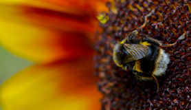 Bumble bee on sunflower. A bumblebee collecting nectar from a sunflower Royalty Free Stock Photos